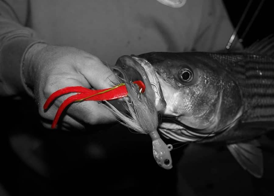 Striped Bass caught using Split Tail Jig Strips