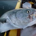 John Skinner Video using Jig Strips by Fat Cow Fishing