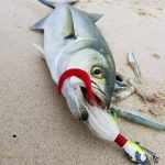Bluefish caught on Jig Strips with Bait